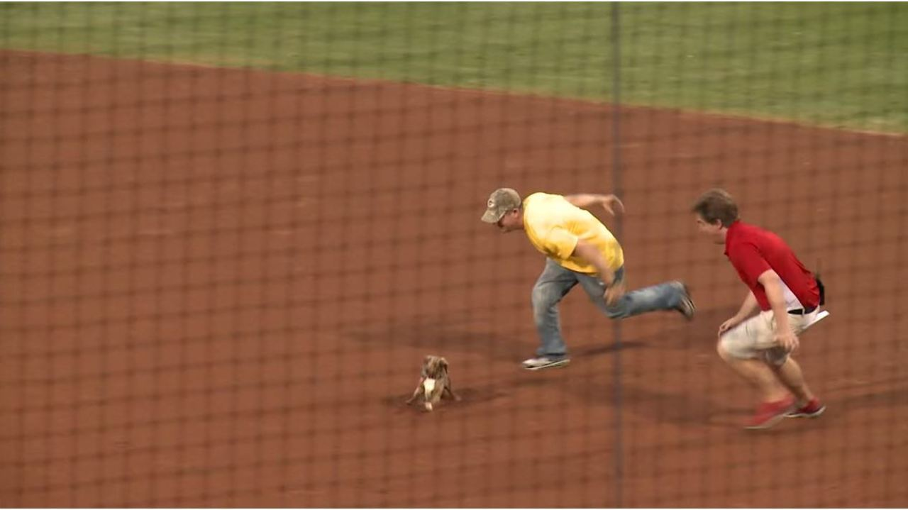 Dachshund Steals The Show At El Paso Chihuahua S Baseball Game