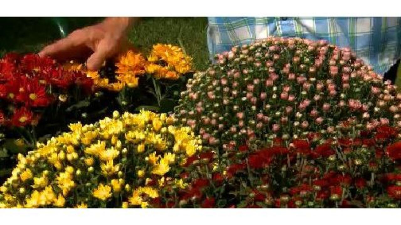 The Weekend Gardener: Garden Mums