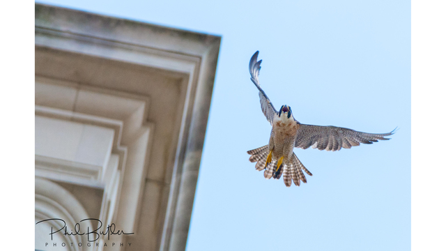 Livestreaming webcam launches to observe UT Tower falcon