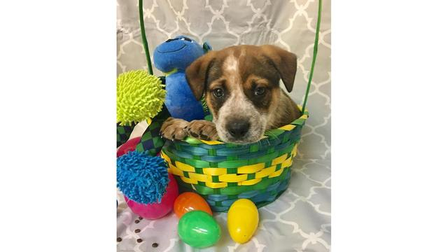 Puppies at the Bastrop County Animal Shelter (Courtesy_Wendy Ballard)_647543