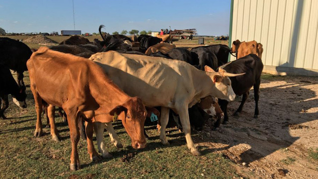 Dozens of emaciated cows found on property near Liberty Hill