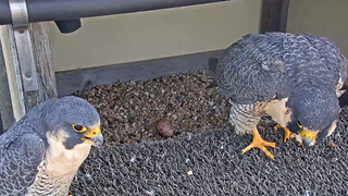 UT Tower Girl lays first egg of 2019, giving conservationists hope