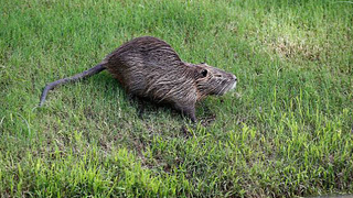 Muskrat love: Detroit-area Catholics permitted to eat rodent