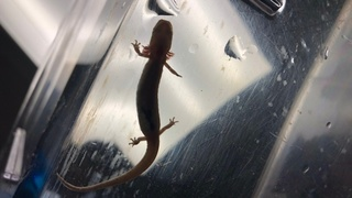 Why Texas salamanders may be an example of the growing threat of extinction worldwide